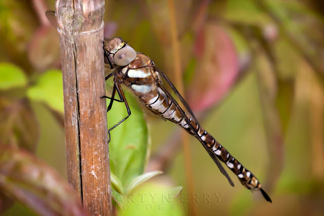 Macro image of a brown and white common Hawker Dragonfly at Ouse Fen