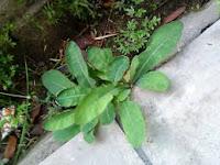 Khasiat tempuyung sebagai obat peluruh batu ginjal Khasiat tempuyung untuk obat puluruh batu ginjal