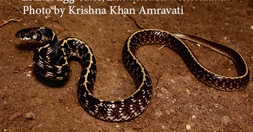 Indian Egg-eating Snake - is not related to African Egg-Eating snakes
