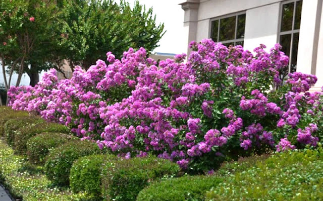 Intense hues of massed Early Bird Crape Myrtles bloom in front of clipped dwarf youpon hollies.