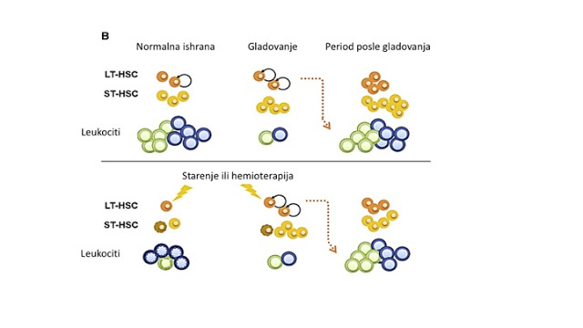 Slika 2. Efekat gladovanja na aktivaciju stvaranje leukocita iz uspavanih matičnih ćelija.