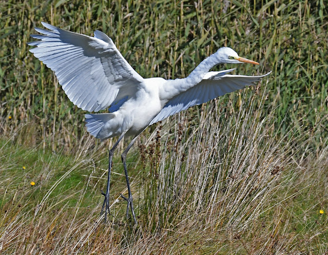 Leighton Moss – Egrets and Waders