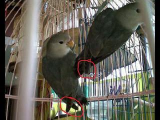 cae corp cara mudah membedakan love bird jantan dan betina