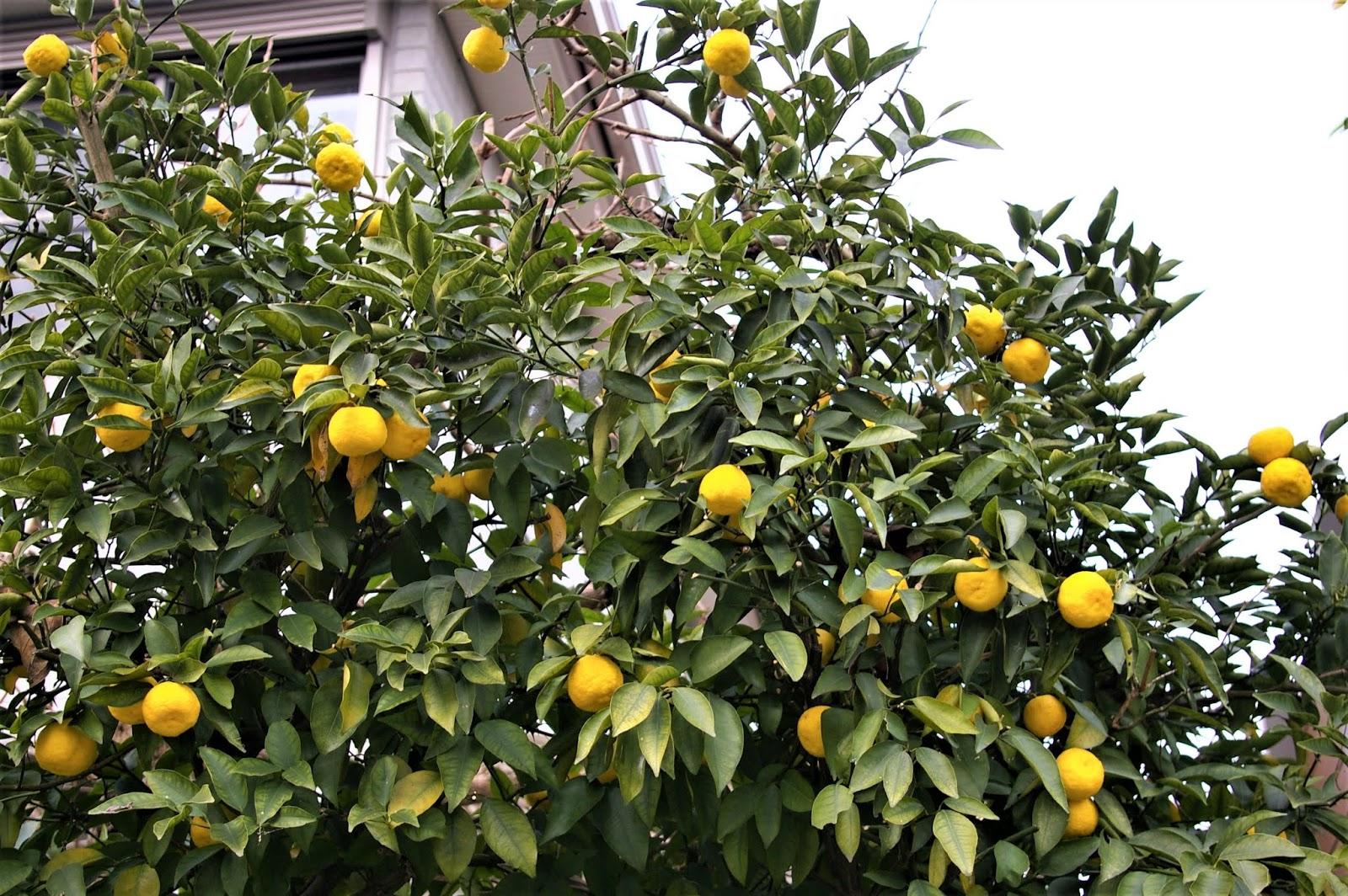 に 柚子 ことわざ 木 の