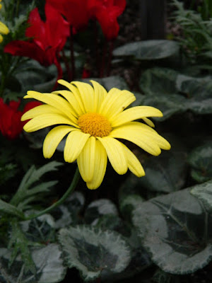 Voltage Yellow Osteospermum African Daisy at Allan Gardens Conservatory 2016 Spring Flower Show by Paul Jung Gardening Services