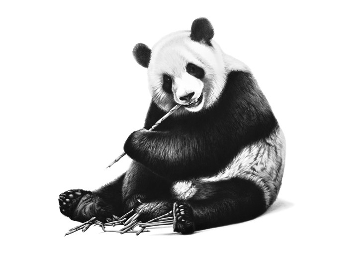 08-Panda-Richard-Symonds-Wildlife-Fine-Art-Drawings-a-Painting-and-a-Video-www-designstack-co