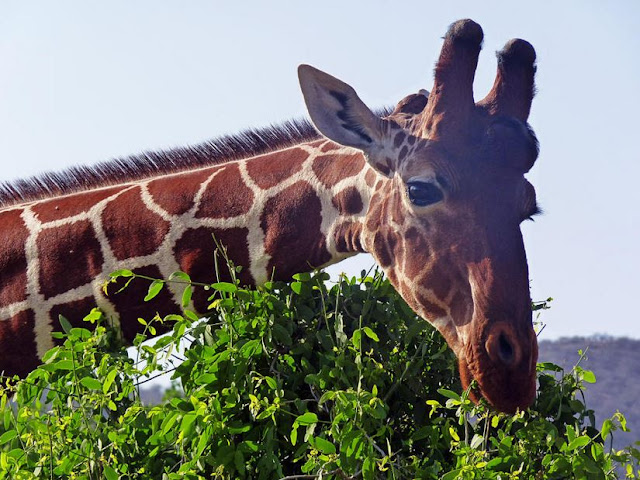 Canvas Wallart of Reticulated Giraffe