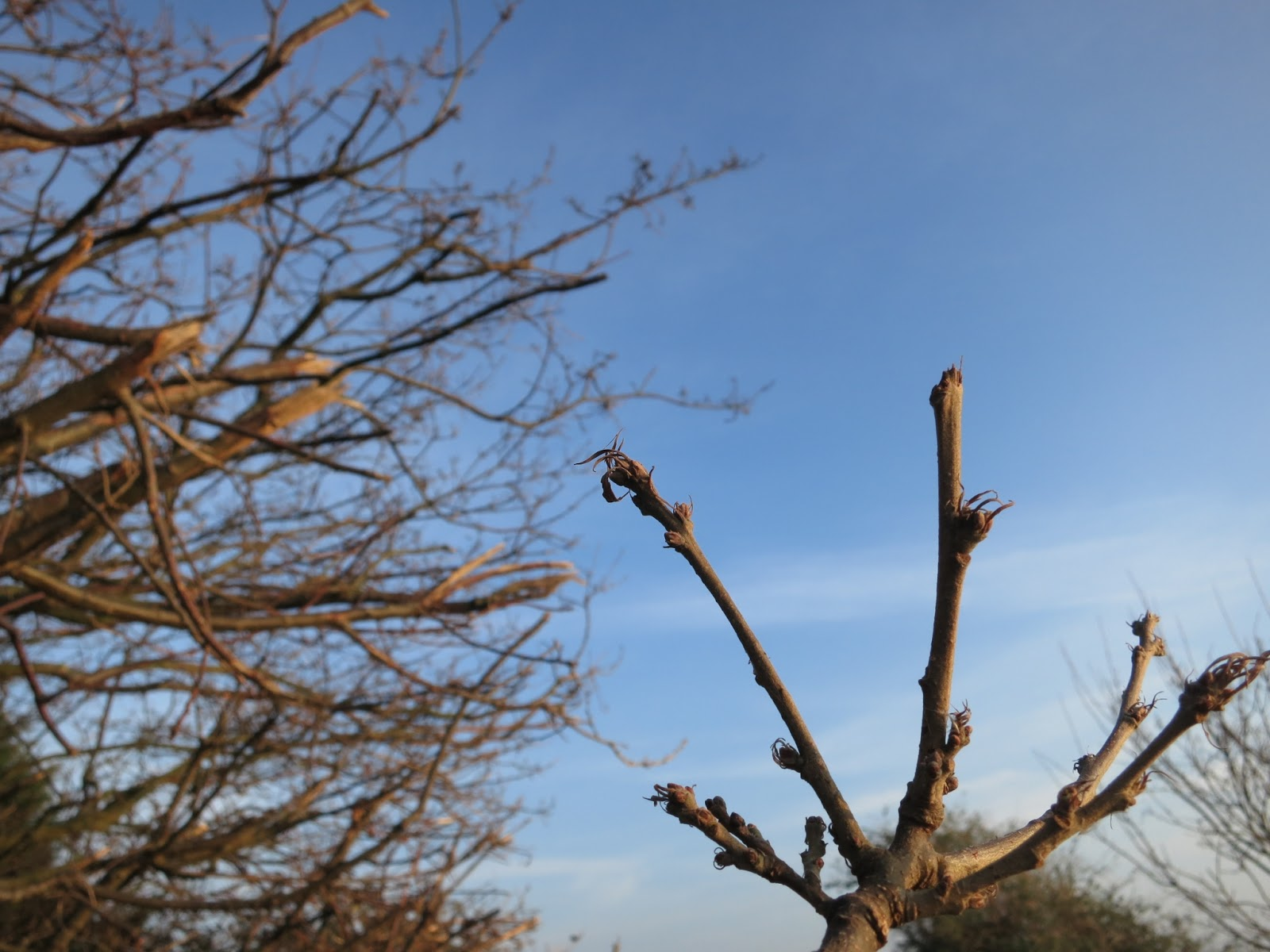 Turkey oak buds on trigs showing twirly bits.