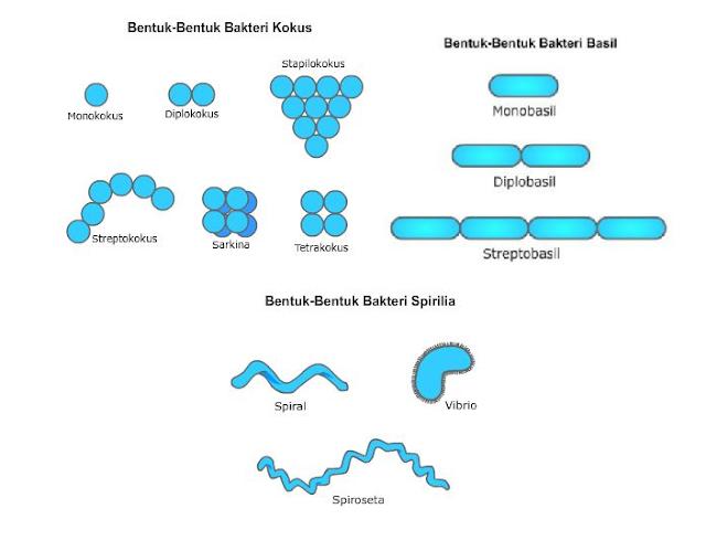 Macam-Macam Bentuk Eubacteria