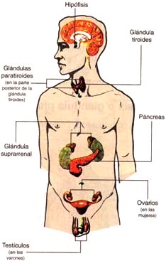 Imagen del Sistema endocrino indicando partes para niños