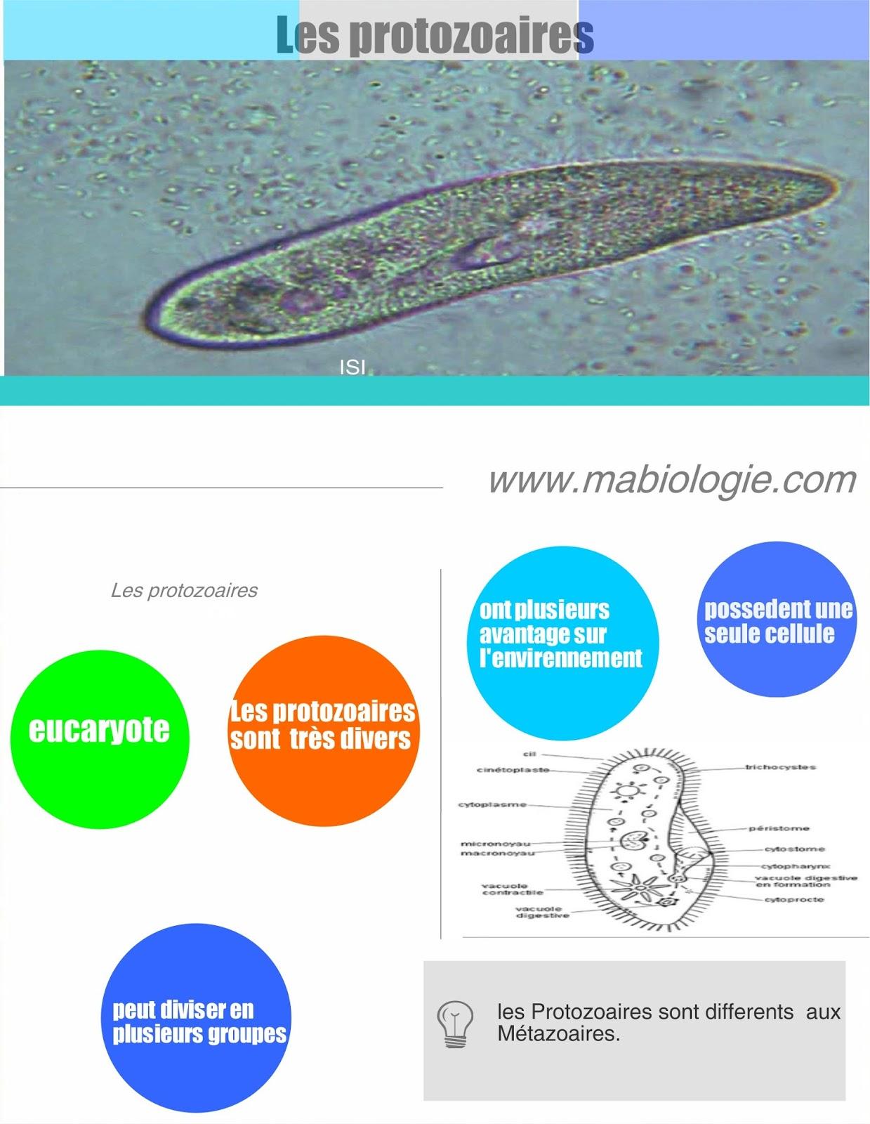 Définition protozoaires