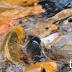 Umpan Ikan Mas Jitu Bahan Dasar Pelet