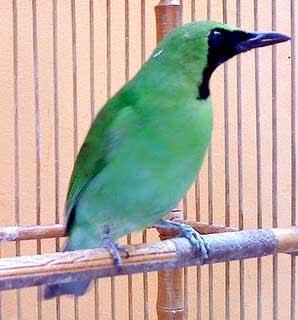 burung cucak ijo banyuwangi www.burung45.blogspot.com