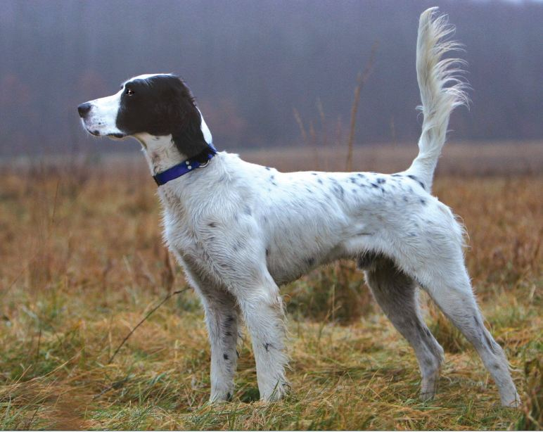 Ideal Family Dog Breeds