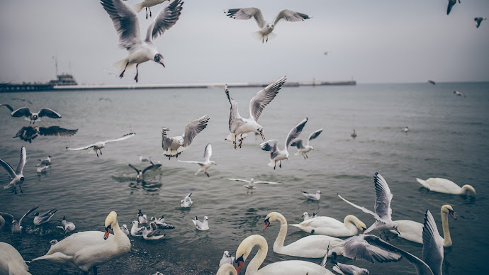 Wallpaper: Swans and Seagulls