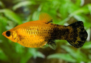 Jenis Ikan Golden Black Molly