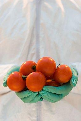 إنتاج طماطم معدلة وراثيًا لإنتاج مركبات كيميائية ومغذيات صحية