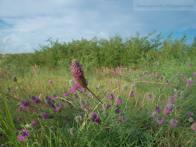 Purple Prairie Flower