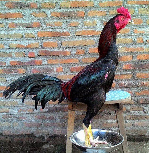 Ciri Ayam Bangkok Super Bagus Yang Kuat Menang