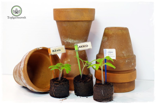 Gartenblog Topfgartenwelt Aussaat Anzucht Grow-Box: Sämlinge in Kokusquelltabs kurz vor dem Umtopfen