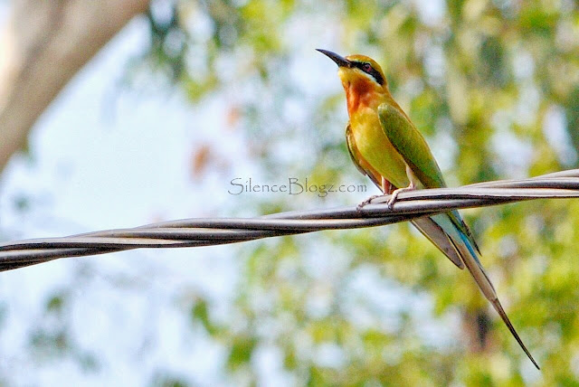 Blue Tailed Bee Eater - birding activity KKB hulu selangor