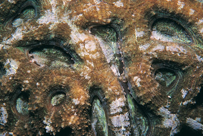 Acanthastrea hillae