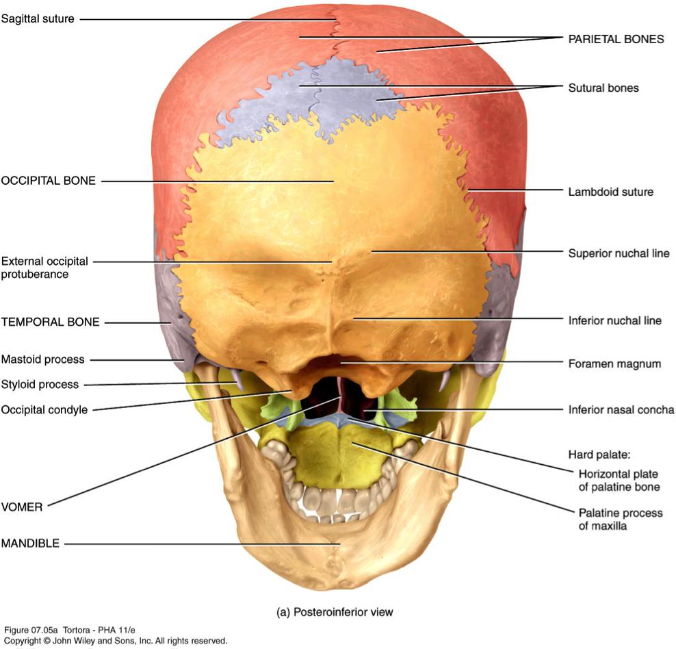 Modern Mastoid Process Ideas - Human Anatomy Images ...