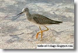 Lesser Yellowlegs (Tringa flavipes) migrant birds of America