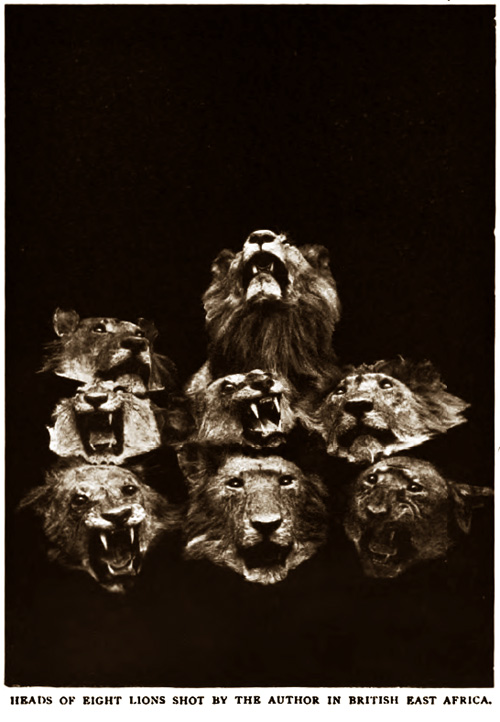 Heads of Eight Lions Shot by the Author in British East Africa