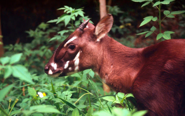Establishing a conservation breeding programme to save the last saola