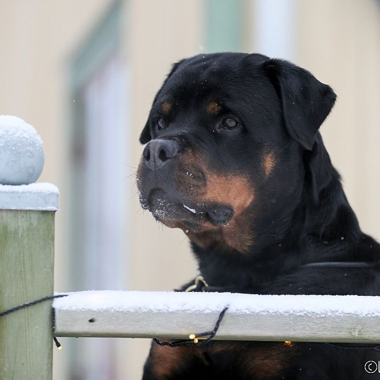 CUTE DOG Best friend! Gorgeous Rottweiler!