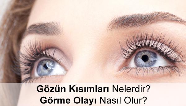 Gözün Kısımları Nelerdir? Görme Olayı Nasıl Olur?