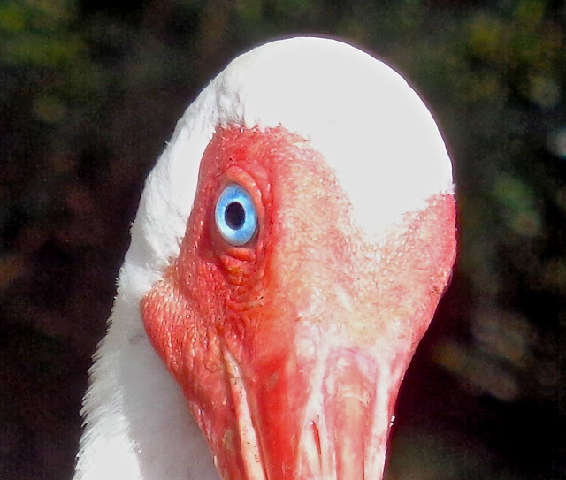 Ibis with sky-blue eyes