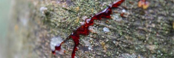 Pohon Dragon's Blood  yang Benar-benar Berdarah