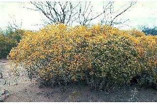 Snakebush