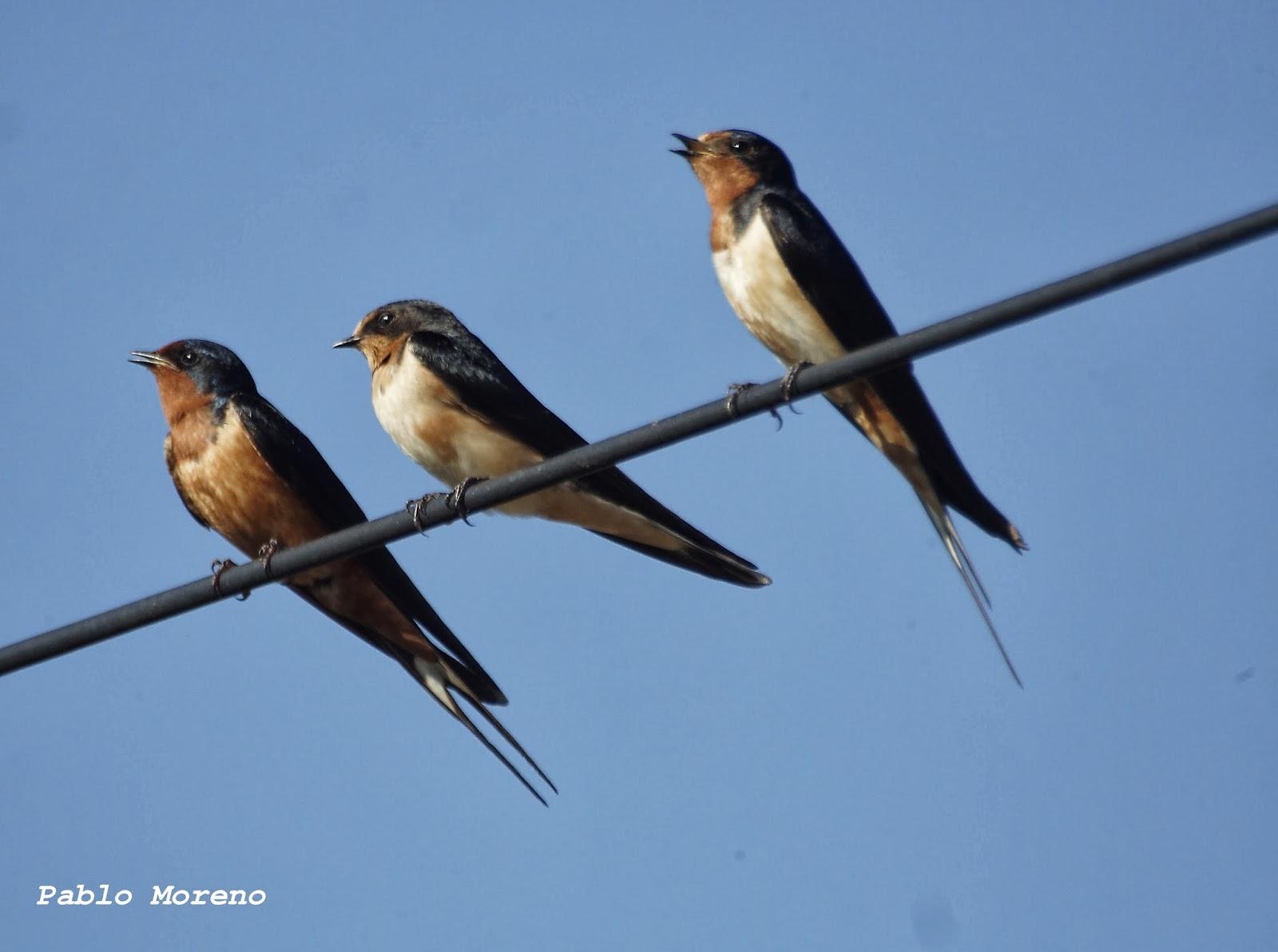 Aves De Mendoza: Golondrina Tijerita(Hirundo Rustica