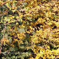 http://www.thenurseries.com/field-maple-acer-campestre-bare-root-hedging-plants-p-889.html