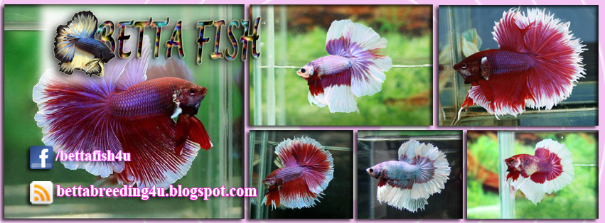 All about betta fish: August 2013  All about betta...