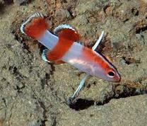 ikan hias termahal Bladefin Basslet
