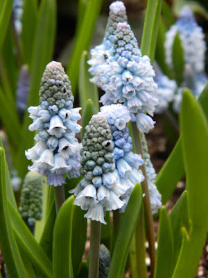Azure grape hyacinths Muscari azureum at the Allan Gardens Conservatory 2016 Spring Flower Show by Paul Jung Gardening Services