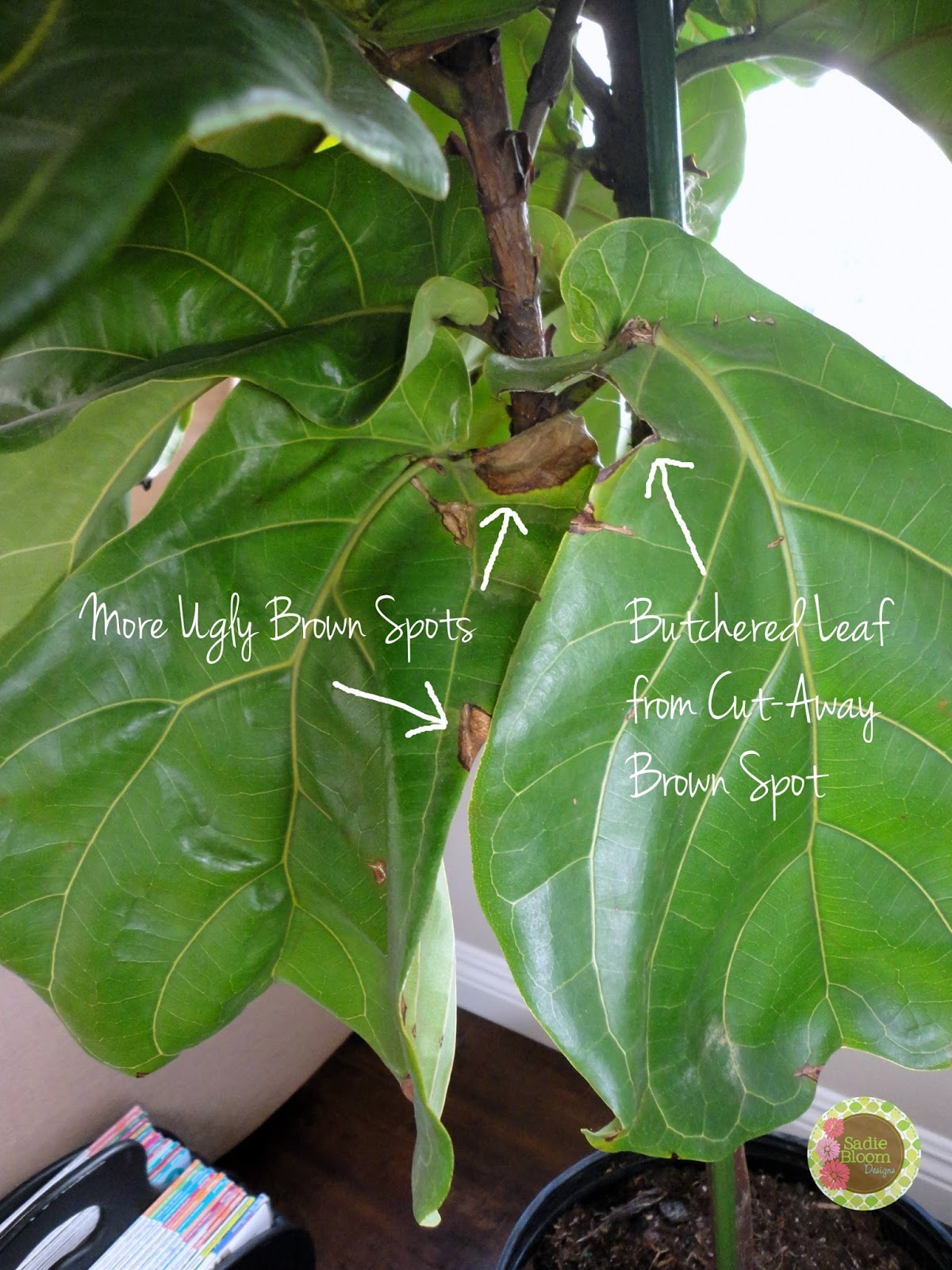 Sadie Bloom Designs My Fiddle Leaf Fig Ficus Lyrata