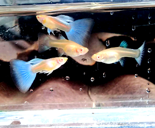 Cara merawat ikan guppy albino blue sky