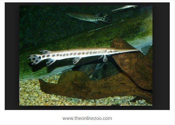 Harga Ikan Aligator Sekarang Ini Pada Pasaran