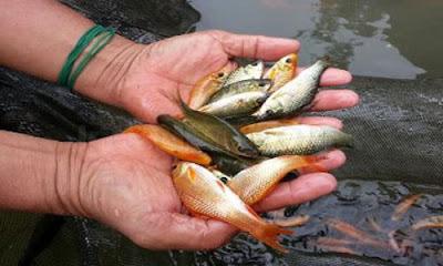 Cara Budidaya Ikan Nilem