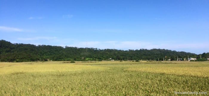 Lúa trên đảo Cô Tô đang sắp vào mùa gặt