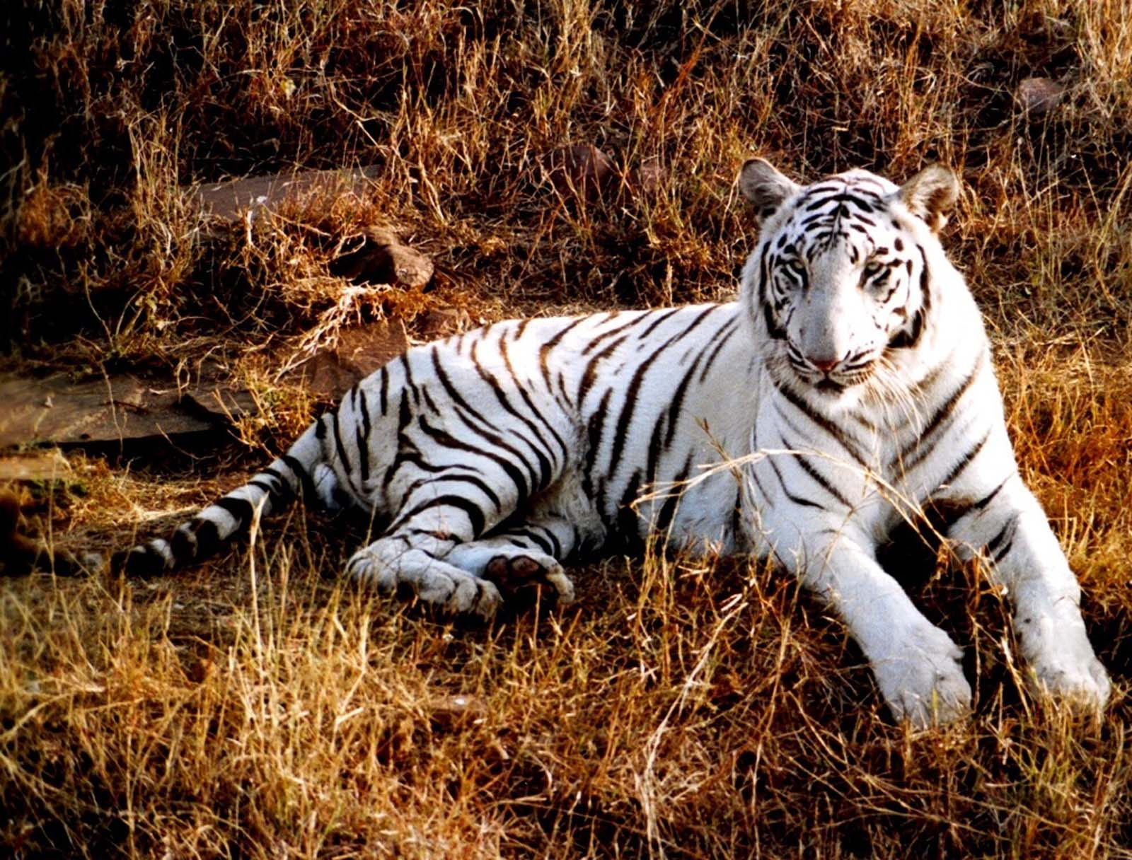 White Tiger Wallpapers - 2013 Wallpapers