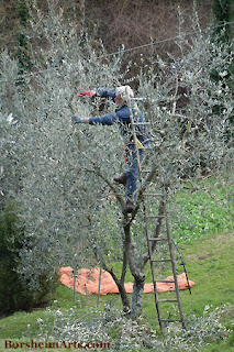 hand trimming of olive trees in Tuscany Italy Italia
