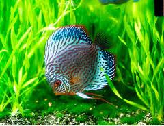 ikan hias air tawar terindah ikan cantik
