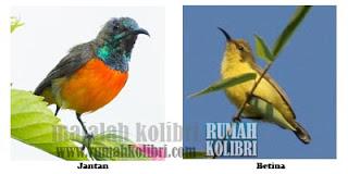 jantan betina kolibri matari