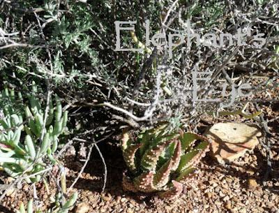 Karoo NBG Haworthia